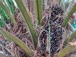 buah-kelapa-sawit-ya.jpg