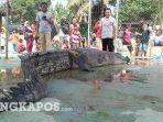 buaya-ompong-seberat-500-kg-ditangkap-di-sungai-kayubesi.jpg