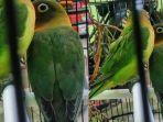 burung-lovebird.jpg
