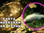 fakta-ular-piton_20170328_224656.jpg