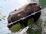 gajah-hamil-di-india-tewas-akibat-ulah-kejam-manusia-dengan-cara-diberi-makan-nanas-berisi-petasan.jpg