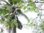hidup-di-pohon-kelapa_20171025_074045.jpg