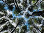hutan-pinus-mangunankompascomanggara-wikan-prasetya.jpg