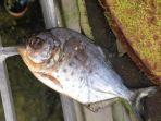 ikan-piranha-ditemukan-di-saluran-pembuangan-di-inggris_20180403_011100.jpg