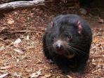 ilustrasi-setan-tasmania-atau-tasmanian-devil-jumat-11122020.jpg