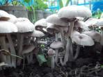 jamur-beracun_20150804_210547.jpg