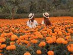 ladang-bunga-calendula-di-desa-belok.jpg