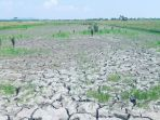lahan-sawah-di-desa-rias-kecamatan-toboali-mengalami-kekeringan_20180221_114132.jpg