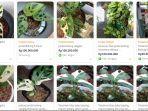lapak-yang-menjual-tanaman-janda-bolong-termurah-di-tokopedia-1.jpg