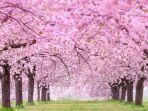 lihat-bunga-sakura.jpg