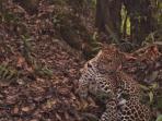 macan-tutul-jawa-panthera-pardus-melas-terekam_20160731_112108.jpg