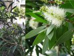 manfaat-eucalyptus-untuk-tubuh-manusia-termasuk-antivirus-corona-ternyata-bisa-timbulkan-api.jpg