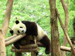 panda-jepang.jpg