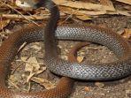 papuan-taipan-ular.jpg