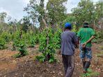 petani-lada-sedang-merawat-tanaman-lada-miliknya-yang-berada-di-kabupaten-bangka.jpg