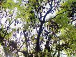 pohon-asam-yang-berada-di-tengah-kota-soppeng-dipenuhi-kelelawar.jpg