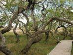 pohon-bengkok-di-hafford.jpg