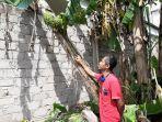 pohon-pisang-milik-andreas-yang-memiliki-buah-yang-tumbuh-di-bagian-batang.jpg