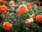 reader-digest-kulit-pisang-bisa-digunakan-untuk-menyehatkan-tanaman-mawar.jpg
