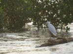 salah-satu-burung-air-di-hutan-mangrove-kampung-blekok-situbondo.jpg