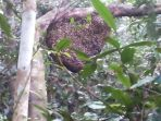 sarang-lebah-madu-di-hutan-larang-kelapa-kecamatan-kelapa_20171101_215505.jpg