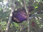 sarang-madu-hutan_20170201_201322.jpg