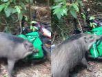 seekor-babi-hutan-mengobrak-abrik-makanan.jpg