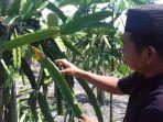 sudarto-petani-buah-naga_20180406_184325.jpg