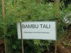 tanaman-bambu_20160130_074758.jpg