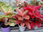 tanaman-hias-agalonema-yang-banyak-diburu-masyarakat-dengan-didominasi-warna-merah.jpg