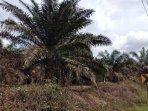 tanaman-kelapa-sawit-terserang-penyakit-daun-kekuningan-kuningan-disebabkan-jamur.jpg