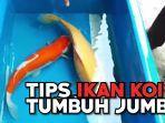 tips-tips-agar-ikan-koi-tumbuh-jumbo.jpg