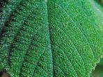 tumbuhan-dendrocnide-moroides.jpg