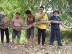 ular-piton-berukuran-raksasa-ditangkap-warga.jpg