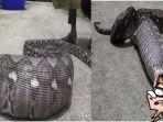 ular-piton-gemuk_20170918_155857.jpg