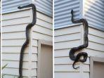ular-piton-merayap-di-dinding-rumah-warga_20180808_085418.jpg