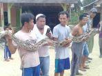 ular-piton-yang-ditangkap-warga-desa-batu-beriga_20180216_204159.jpg