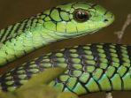 ular-pohon-afrika.jpg