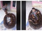 viral-di-media-sosial-seorang-bocah-terlihat-asyik-bermain-dan-duduki-ular-piton.jpg