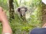 warga-sumsel-diinjak-gajah.jpg