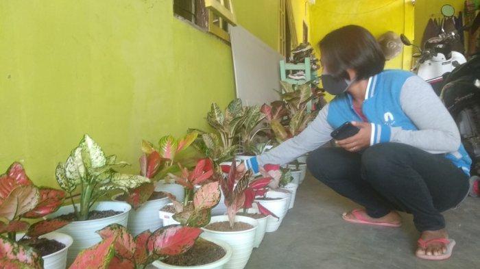 Pebisnis Bunga di Banjarbaru Kalsel ini Pasarkan Aglonema kepada Orang Kantoran
