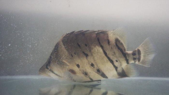 Pehobi Ikan Hias di Banjarmasin ini Empat Tahun Mengoleksi Ikan Predator, Sempat Beli dari Nelayan
