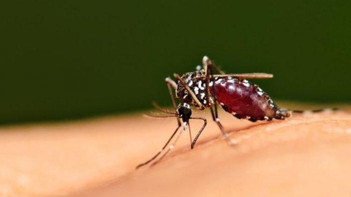 Nyamuk Aedes aegypti