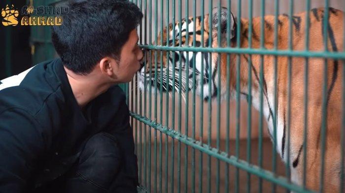 Ciuman Alshad si Sepupu Raffi Ahmad Pada Harimau Terekam, Daging Wagyu A5 Jadi Santapan