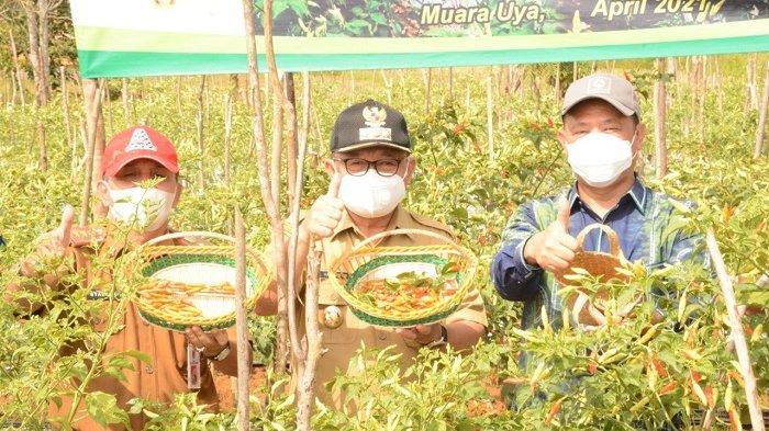 Panen Perdana Cabai Baru, Bupati Tabalong Langsung Namai Cabai Tiung Tanjung