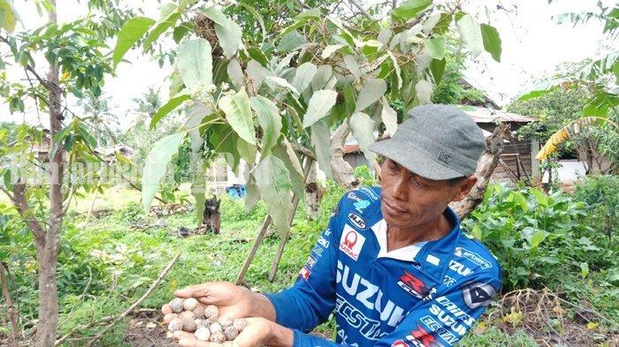 Petani di Daerah Sentra Kemiri di Kabupaten Tanah Laut Kalsel Raup Rp 2 Juta Saat Panen