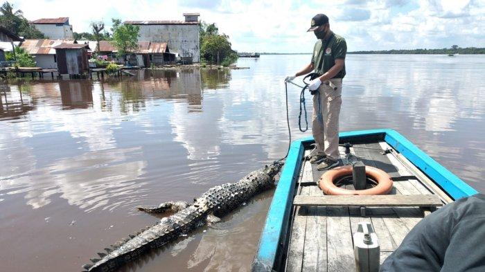 Warga Pinggir Sungai Mentaya Sampit Kaget Ada Bangkai Buaya Ukuran 3 Meter