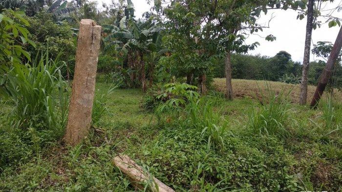 Sebagian Pohon Penghijauan di Tepi Jalan Nasional di kawasan Tala Dipangkas Pendek