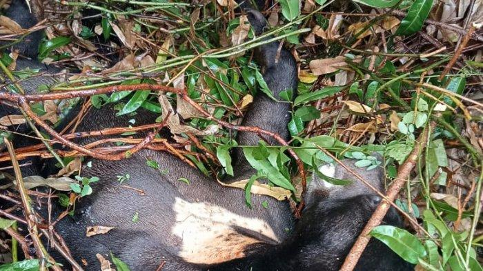 Beruang Madu Mulai Masuk area  Kota Pagatan Kabupaten Tanahbumbu