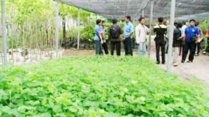 Warga Kalteng Ramai Kembangkan Tanaman Sengon, Ternyata Jadi Bahan Pembuatan Ini